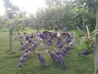 turkey_farm_bardia