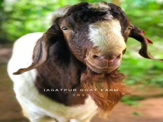jagatpur_goat_farm