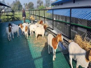 chanda's_boer_goats_farm