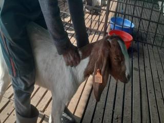 keshar_agro_farm_goat_farm