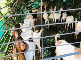 lumbini_goat_farm